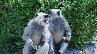 Wild Monkey Eating Food  Langur Monkey  Langoor Bandar  Indian Monkeys