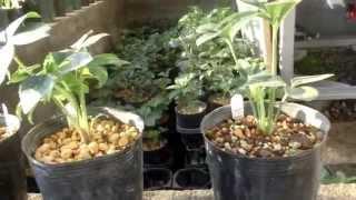 2012年に交配した早期発芽の苗です。気候も涼しくなり、太陽を確り浴び...