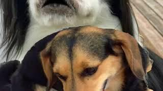 Amebaブログ「狆犬ちづひめ」2017年9月5日投稿をご覧ください。