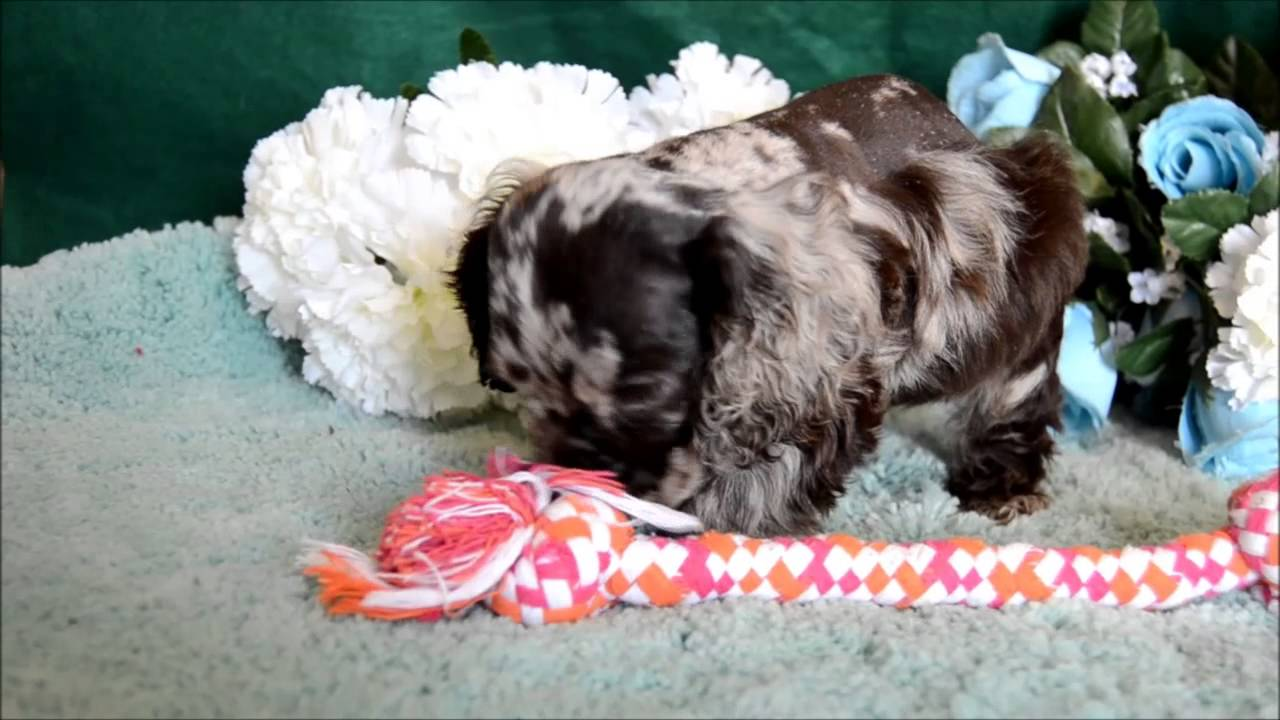 dugan cocker spaniel puppy for cocker spaniel puppies for sale www maryscockerhaven com 1183