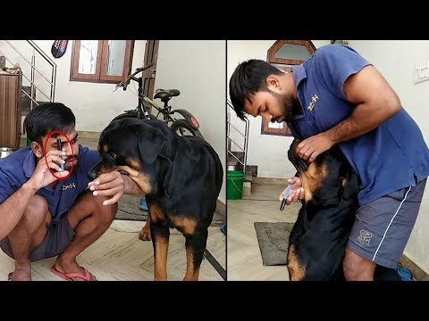 How to give - liver tonic to your Rottweiler : [ Bolt ]