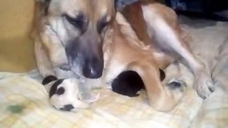 роды собаки Лисы