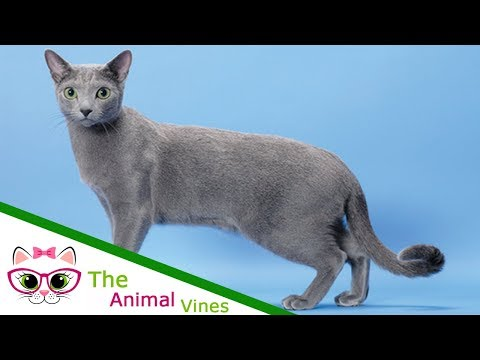 Cats Are Awesome | 9 Reasons We Love the Russian Blue Cat