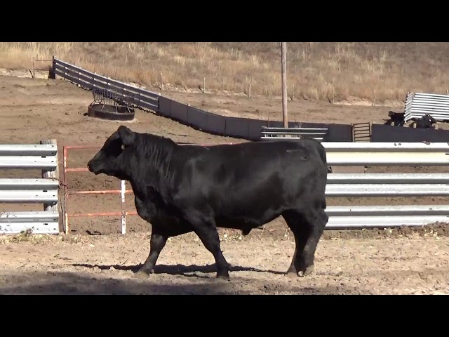 Connealy Angus Lot 14
