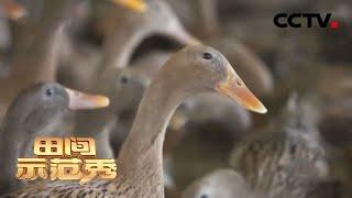 《田间示范秀》 20201230 精养麻鸭多产蛋|CCTV农业 - YouTube