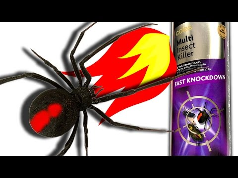 Redback Spider Vs Coles Cheap Insect Killer Flamethrower & Feeding Ants Spiders