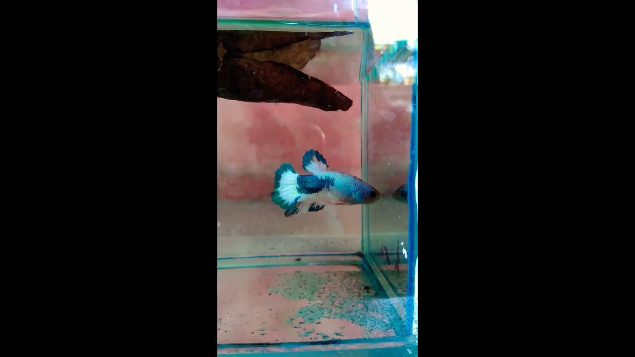 Ikan Cupang Blue Rim No Clean - YouTube