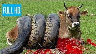 牛を攻撃する巨大ニシキヘビ 恐ろしいです