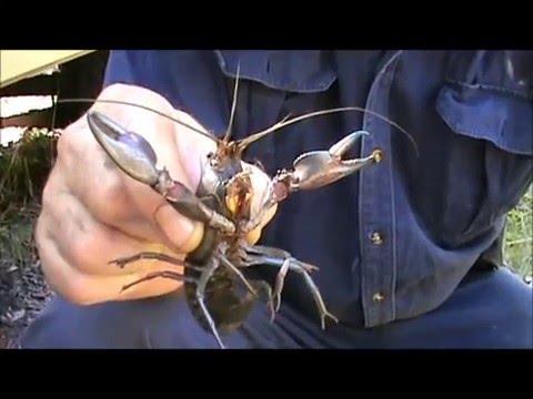 how to catch yabbies nsw