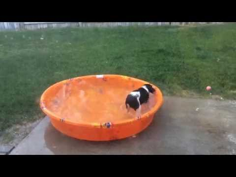 Funny English Springer Spaniel Puppy has her own pool party!