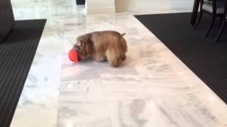 Soccer Fever - Sebastian The American Cocker Spaniel