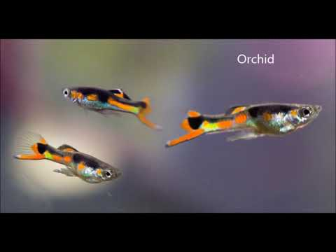 Types Of Endlers Fish