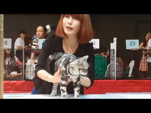 CATHOUSE CHANNEL : CFA CAT SHOW (Thailand) American Shorthair CATHOUSE TH