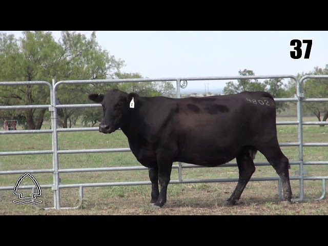 Pearcy Angus Ranch Lot 37
