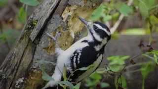 Hairy Woodpecker Pecking a Downed Tree HD 1080p