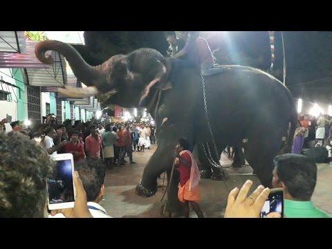 Elephant Exclusive Chavakkad Manathala Nercha 2017
