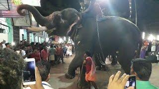 Repeat youtube video Elephant Exclusive Chavakkad Manathala Nercha 2017