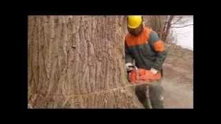 Baumfällung einer 35 meter Pappel