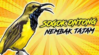 Download Mp3 Burung Sogok Ontong Suara Asli Paling Jernih Gacor Panjang | Sogon Ngobra | Oliv