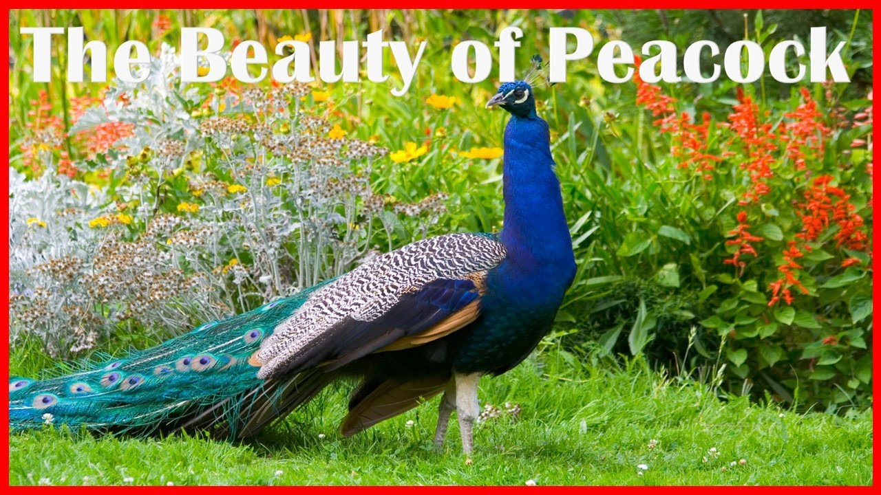 The Beauty of Peacock!