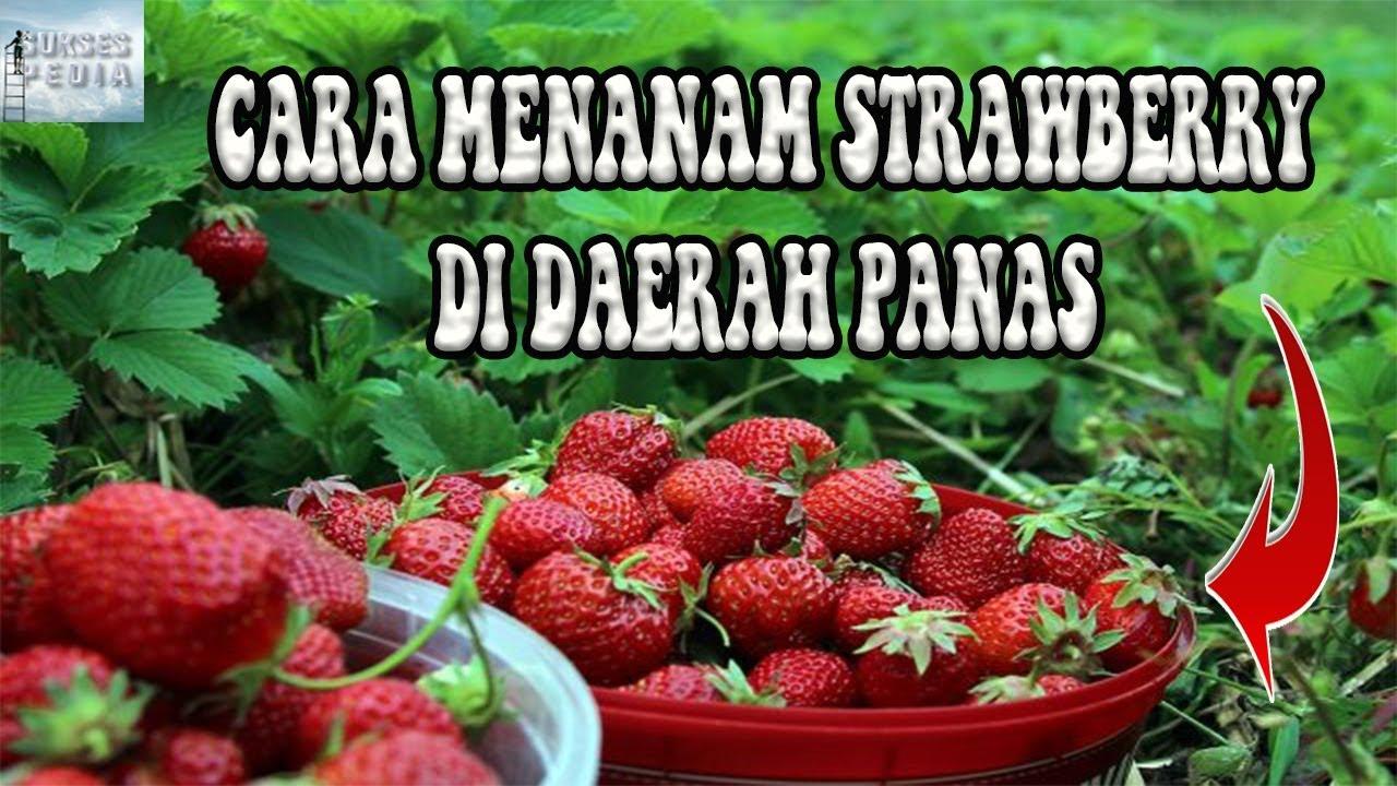 Cara Menanam Strawberry Di Daerah Panas Agar Cepat Berbuah Youtube