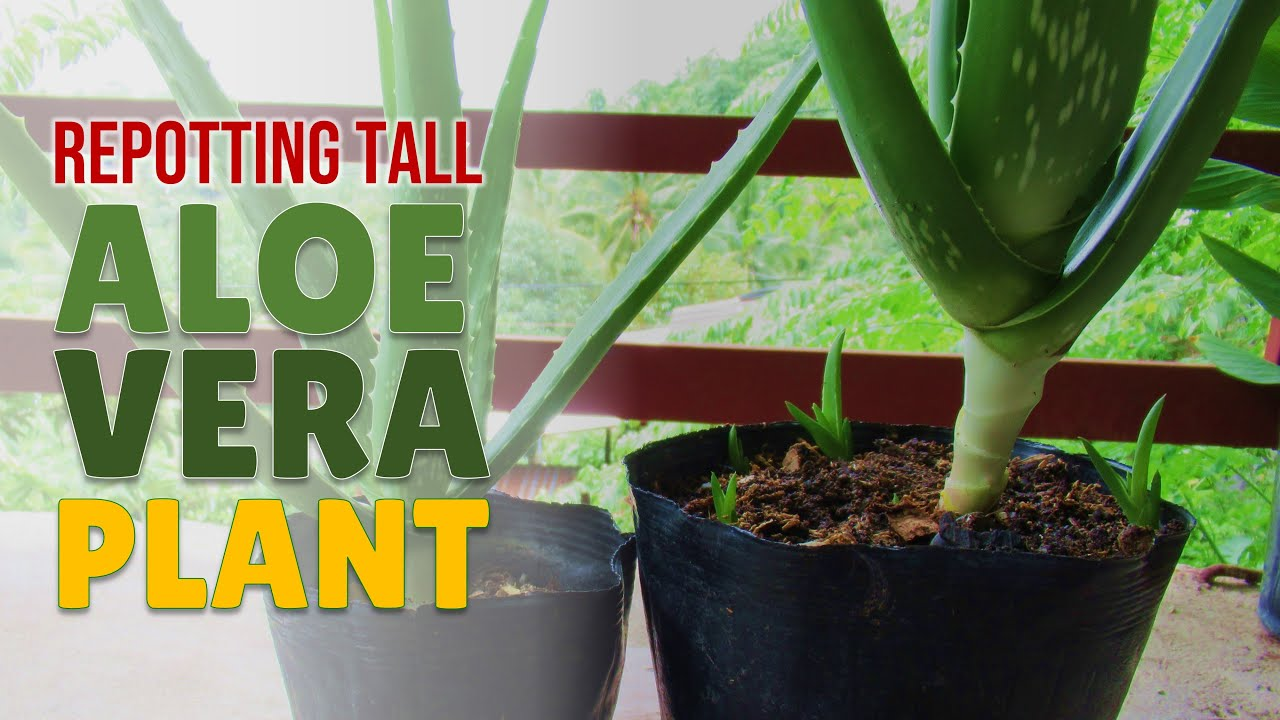 How To Repot Tall Aloe Vera Plant - Two Better Ways of ...