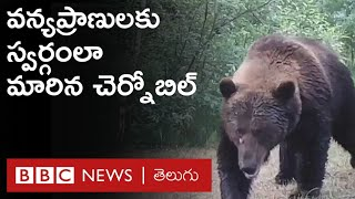 Chernobyl అణు ప్రమాదం జరిగిన ప్రాంతంలోని Wild Animals అరుదైన వీడియో | BBC Telugu