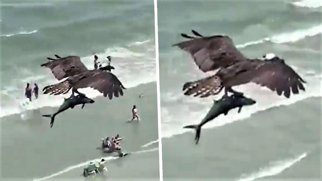 ظهور طائر ضخم يحمل سمكة قرش في مشهد ارعب العالم ..!!