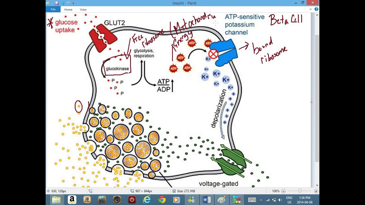 How Organelles Work Together to Make and Secrete the Protein Insulin Essay