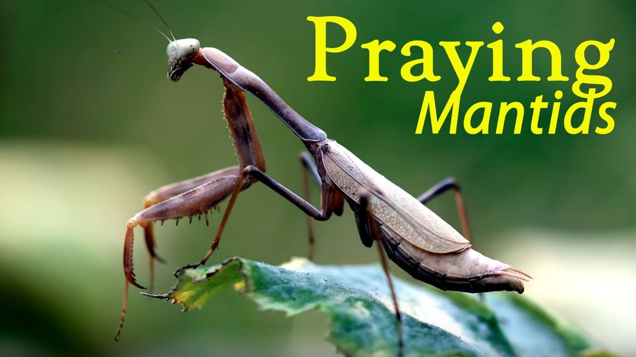 Information About The Praying Mantis Mantodea Youtube