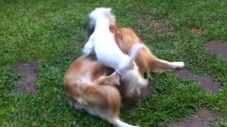 Golden Retriever And West Highland White Terrier  Play Time
