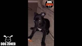 Pit Bull Puppy VS Carrot