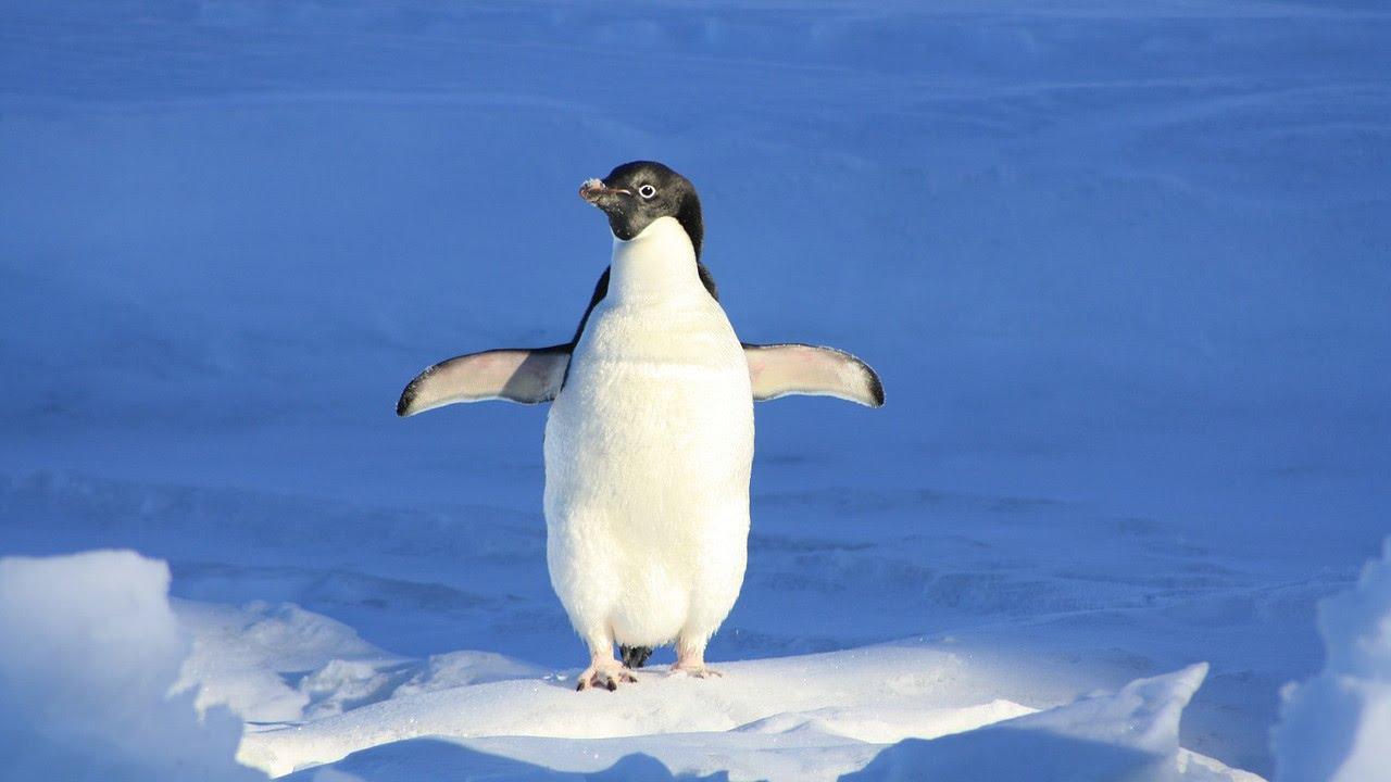 Por qué los Pingüinos no vuelan? - YouTube
