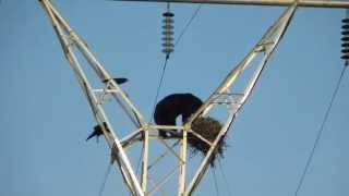 Bear Climbs Electric Pole, Raids Nest