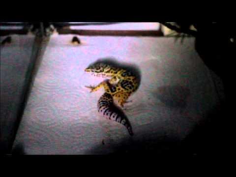 Mon nouveau gecko mâle : Jack