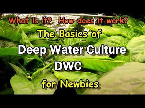 Hydroponics Using the DWC Deep Water Culture Technique: An Introduction for Newbies
