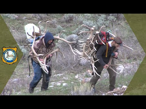 Wyoming Shed Hunters - Changes To Antler Collection Regulation