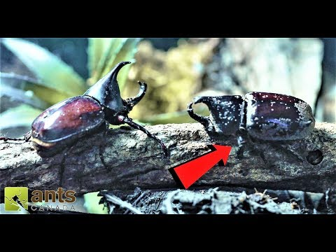 I Tried to War Two Rhino Beetles But What Happened Shocked Me