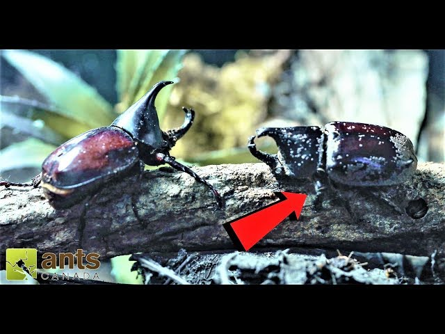 WAR & DEATH of the Rhino Beetles