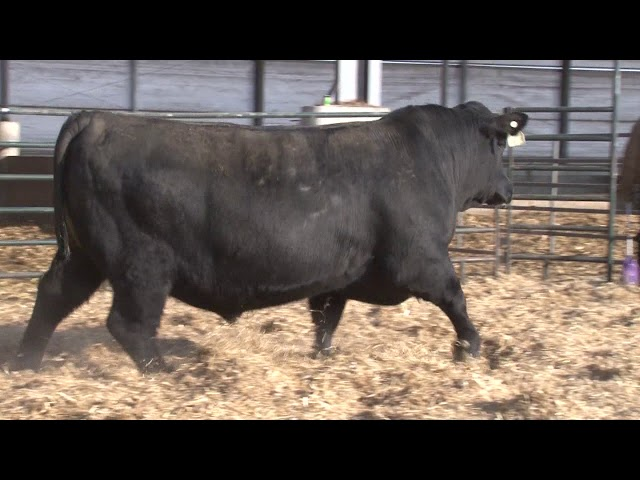 Schiefelbein Angus Farms Lot 255