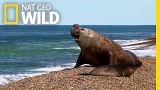 Orca vs. Elephant Seal | Nat Geo Wild