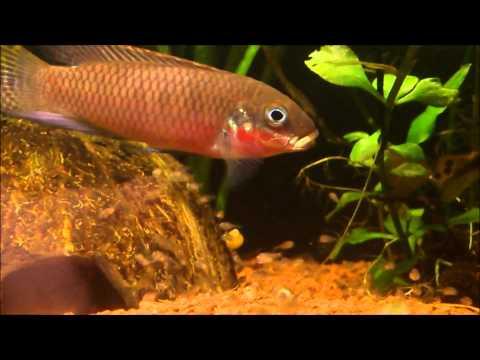 Photos & vidéo Pelvicachromis Taeniatus Nigeria red