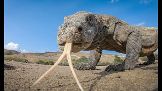 Robot Spy Pig Meets Komodo Dragons  It Doesn't End Well!