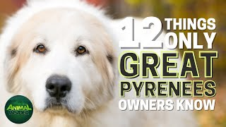 12 Things Only Great Pyrenees Dog Owners Understand