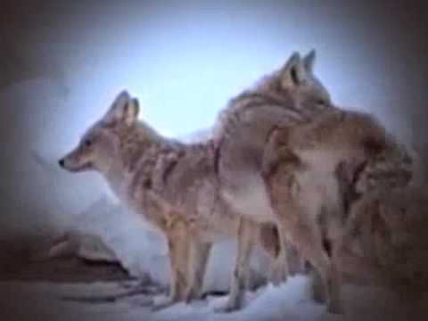 Yellowstone Realm of the Coyote 1995