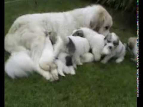 Pyrenean Mountain Dogs Great Pyrenees Puppies Penellcy