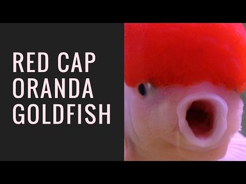 Red Cap Oranda Goldfish/giovannicarlobagayas