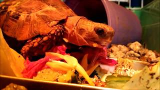 Speke's Hingeback Tortoise - Eating Compilation