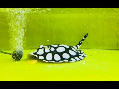 How To Care Stingray in Hindi