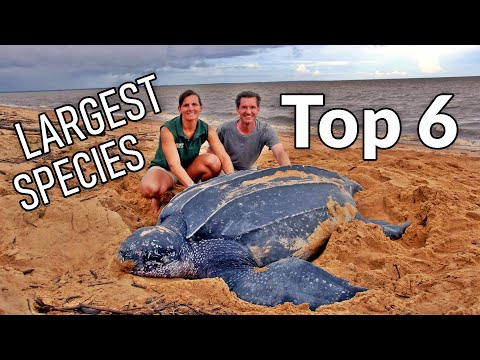Top 6 Largest Tortoise And Turtle Species On Earth